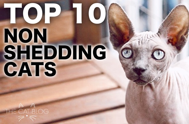 Cat Breeds That Dont Shed Archives The Cat Blog